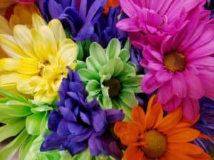 Colorful Daisy Mums