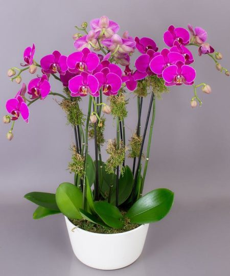 Available in pink/purple or white. As with all of our flowers and plants, color variations occur seasonally. we will be sure to send the most beautiful orchid we have in the greenhouse for you.